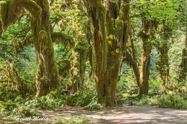 Hoh Rain Forest-3804