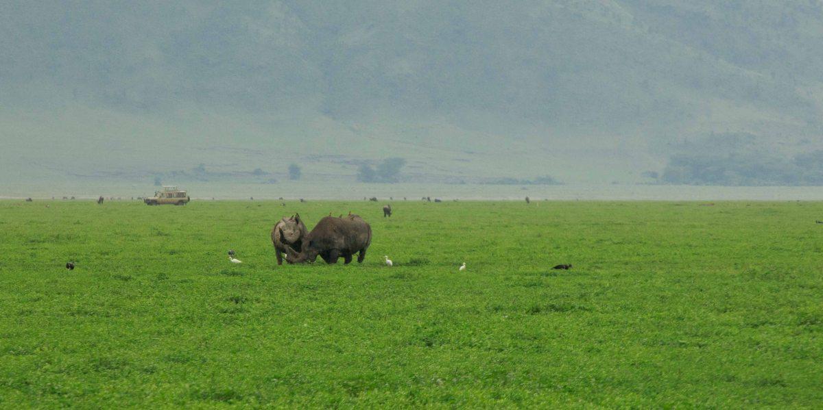 Rhinos Chasing Hyenas in Ngorongoro