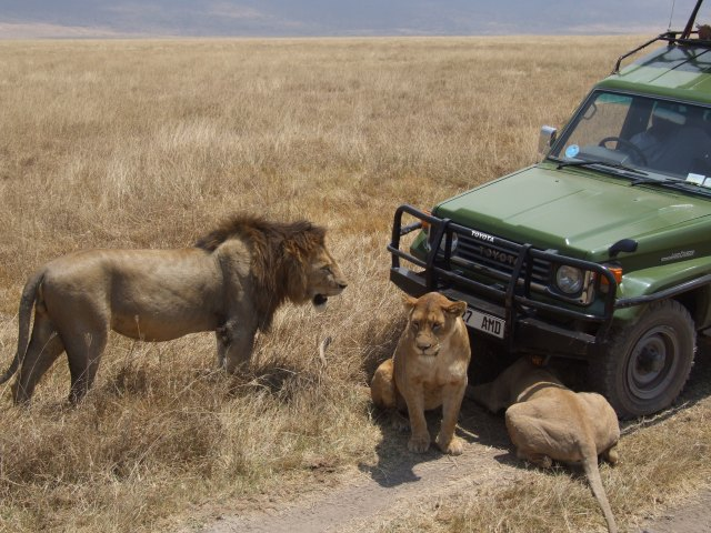 Lion_Ngorongoro_05.jpg